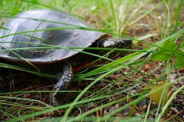 A turtle in the forest off Red Devil Hill in Revelstoke, B.C.