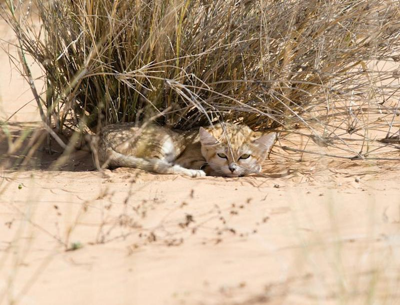 Sand cats are notoriously elusive to see in their natural habitat in the Moroccan Sahara (Gregory Breton/Panthera)