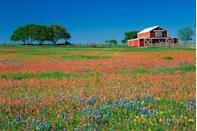 <p>Texas Paintbrush and Texas Bluebonnet grow in a field beside a barn in Texas // Date unknown</p>