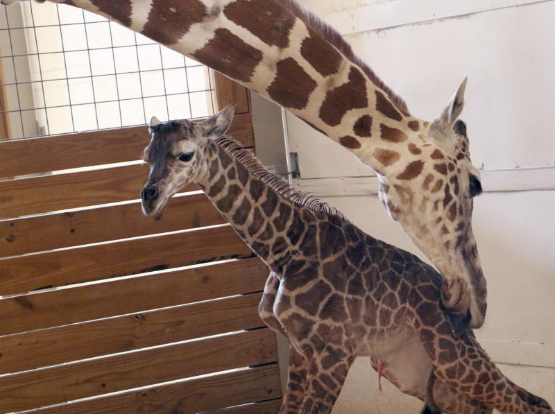 Giraffe's baby bump boosts tiny zoo's upkeep, conservation