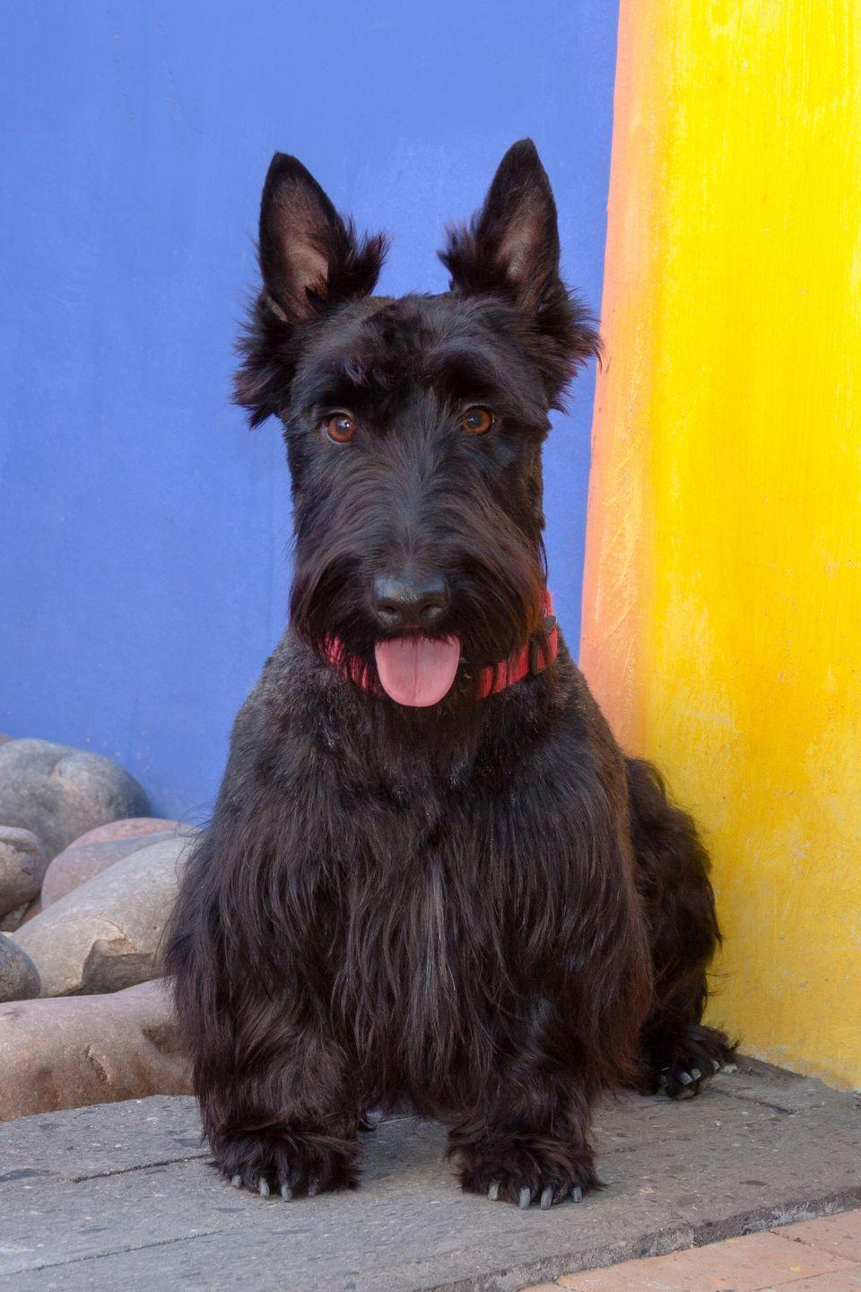 """<p>You may know the adorable and personality-filled Scottie dog from Disney classic <em><a href=""""https://www.goodhousekeeping.com/life/pets/g25350641/dog-movies/"""" rel=""""nofollow noopener"""" target=""""_blank"""" data-ylk=""""slk:Lady and the Tramp"""" class=""""link rapid-noclick-resp"""">Lady and the Tramp</a>, </em>but the independent and sometimes stubborn Scotties<span class=""""redactor-invisible-space""""> make great pets IRL, too. The were originally bred as fierce hunters, and their wiry, weather-resistant coats kept them protected in all climates. Today, their dignified beard will probably spend most of its time gracing your couch. </span></p>"""