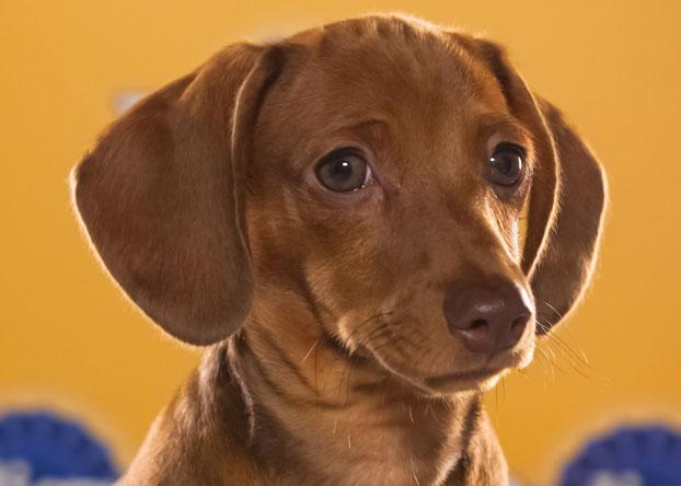 """Harry, a 12-week-old chocolate dachshund, is described as a """"lovable little terror."""" (Photo by Keith Barraclough/DCL)"""