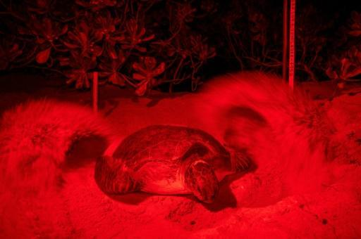 Several species, including green turtles, hawksbills and leatherbacks, nest on Malaysia's coasts, where the spectacle of babies hatching and scurrying into the sea is a major tourist draw