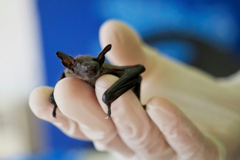 As well as collisions with cars, wind turbines and even the automatic motion sensors that illuminate the stairways of apartment blocks can be perilous for bats