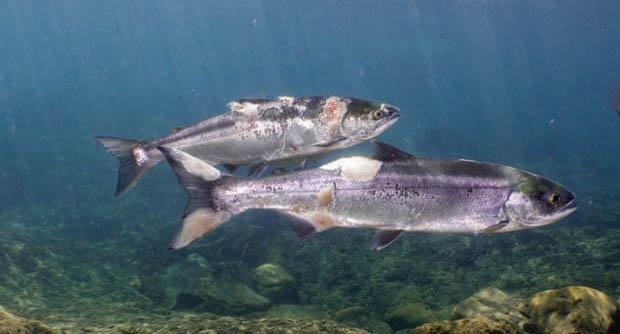 A photo taken by non-profit organisation Columbia Riverkeeper of salmon in the Columbia River injured from stress and overheating. Source: Columbia Riverkeeper