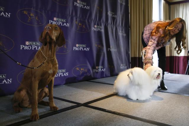 New breed entries in the 139th Annual Westminster Kennel Club Dog Show Falko, a Wirehaired Vizla breed, sits while Chanel and Burberry, Cotons de Tulear breeds, stand with their owner Justine Romano during a press conference in New York January 21, 2015. REUTERS/Shannon Stapleton (UNITED STATES - Tags: ANIMALS SOCIETY)