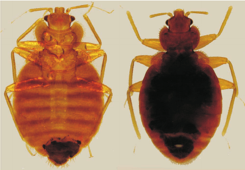 The tropical bed bug, or Cimex hemipterus. (Image credit: Researchgate.net)