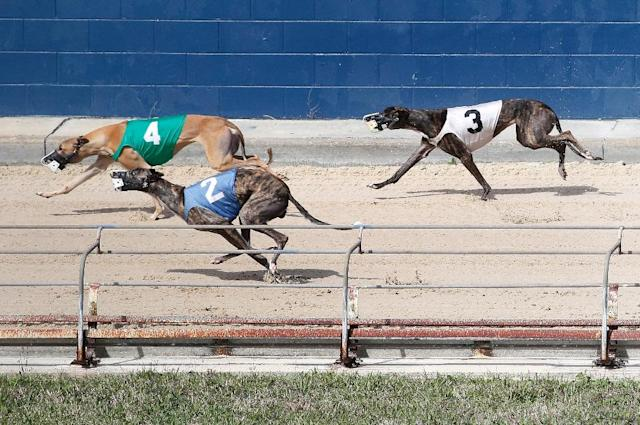 Greyhound racing in Florida is a dying sport, kept alive by a nearly 100-year-old law, but now lawmakers have proposed phasing out the races (AFP Photo/RHONA WISE )
