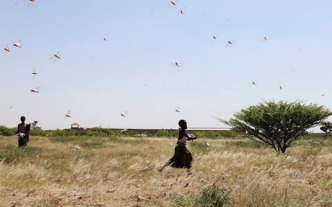 <span>Somali boys attempt to fend off desert locusts as they fly across grazing land</span> <span>Credit: REUTERS/Feisal Omar </span>