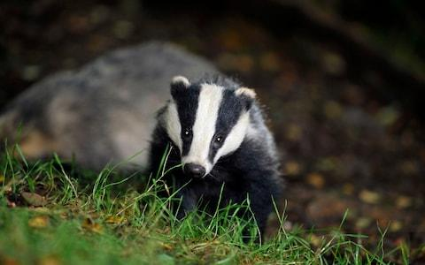 Wild badgers are being culled because they spread Bovine TB - Credit:  Ben Birchall/PA