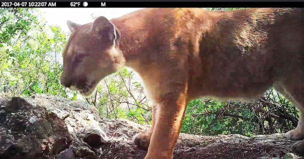 PHOTO: This April 7, 2017, photo from video released by the National Park Service shows P-56, a young male mountain lion that roams the western end of the Santa Monica Mountains in Southern California. (National Park Service via AP)