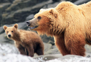 Great Bear Stakeout | Photo Credits: Jeff Wilson/Discovery Channel.