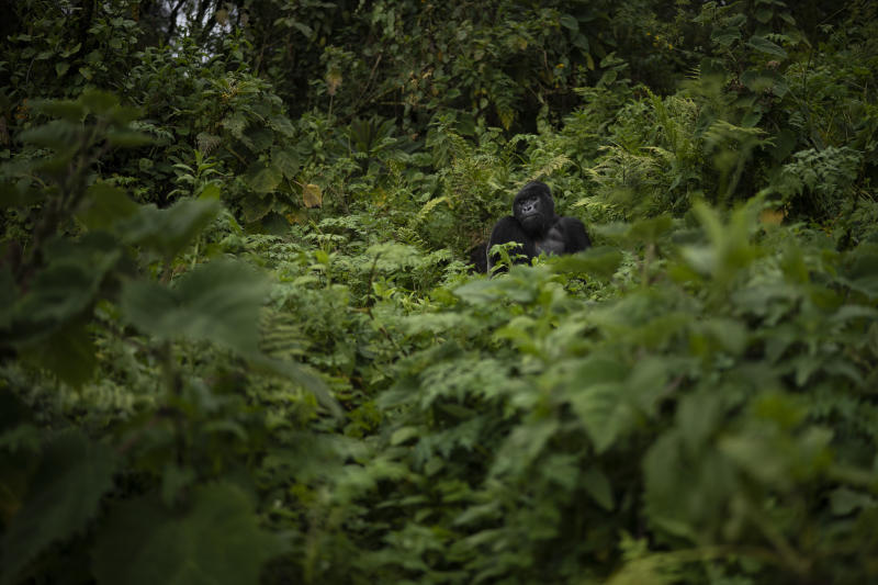 A silverback mountain gorilla named Pato sits in Volcanoes National Park, Rwanda. (Photo: Felipe Dana/AP)