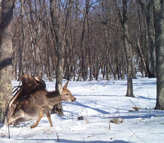 A camera trap set up to record tigers snapped three pictures of a golden eagle preying on a young deer in Siberia.