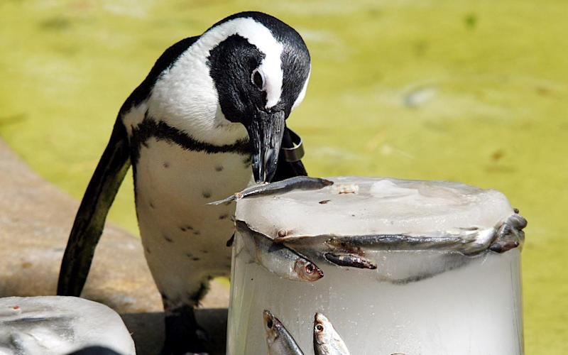 This penguin's meal just got more expensive - frozen fish prices are on the up, and so are zoo tickets for visitors who want to see the animals up close - Abbie Trayler-Smith