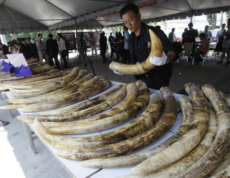 "In this photo taken on April 1, 2011, a Thai customs official displays seized elephant tusks smuggled into Thailand from Kenya during a press conference at the customs headquarters in Bangkok, Thailand. How to slow the slaughter and curb the trade in ""blood ivory"" will be among the most critical issues up for debate at the 177-nation Convention on International Trade in Endangered Species, or CITES, that gets under way Sunday, March 3, 2013 in Bangkok. (AP Photo/Sakchai Lalit)"