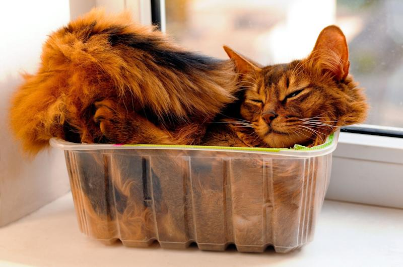 Somali cat lie inside transperent plastic box