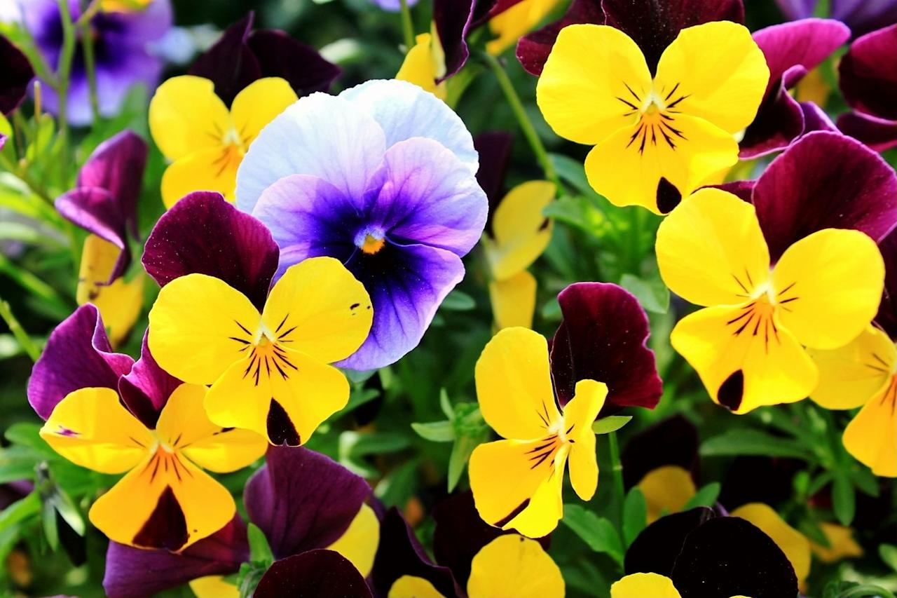 """<p>Plant these colorful, resilient blooms in late summer for peak growth in the fall and wintertime. </p><p><a class=""""body-btn-link"""" href=""""https://www.amazon.com/Seed-Needs-Giants-wittrockiana-Non-GMO/dp/B00RA1X6FS?tag=syn-yahoo-20&ascsubtag=%5Bartid%7C10052.g.33469572%5Bsrc%7Cyahoo-us"""" target=""""_blank"""">Shop Now</a></p>"""