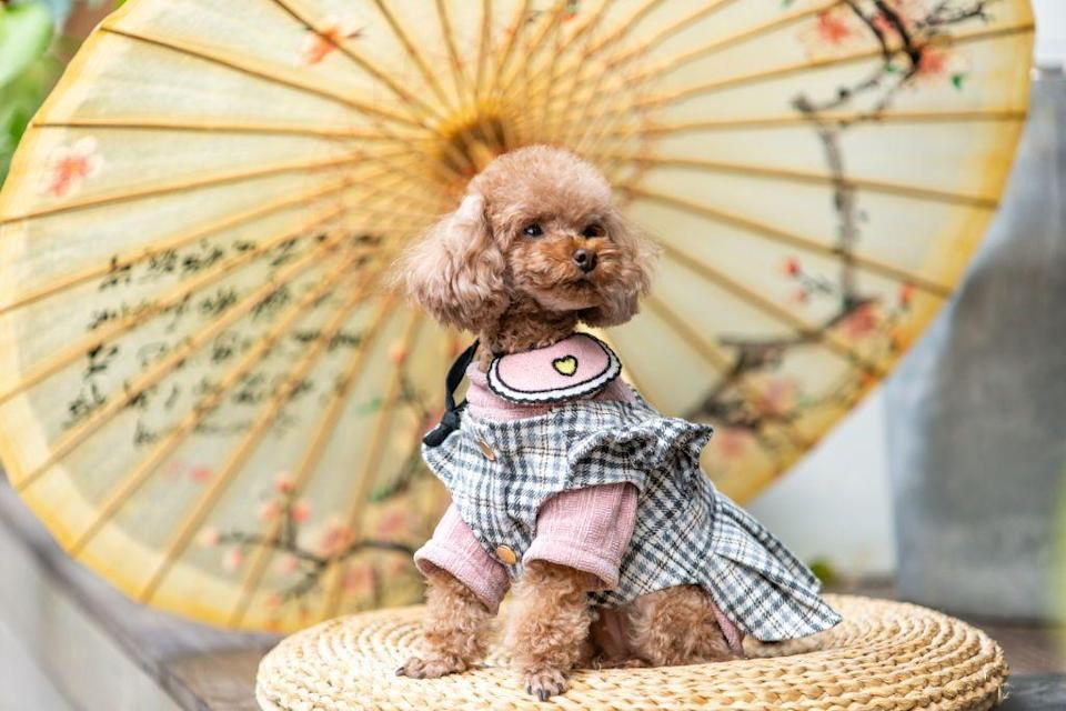 <p>Don't let this poodle's size fool you. While toy poodles are cute, they're also incredibly intelligent and athletic little dogs. </p><p><strong>Weight: 4-6 pounds</strong></p>