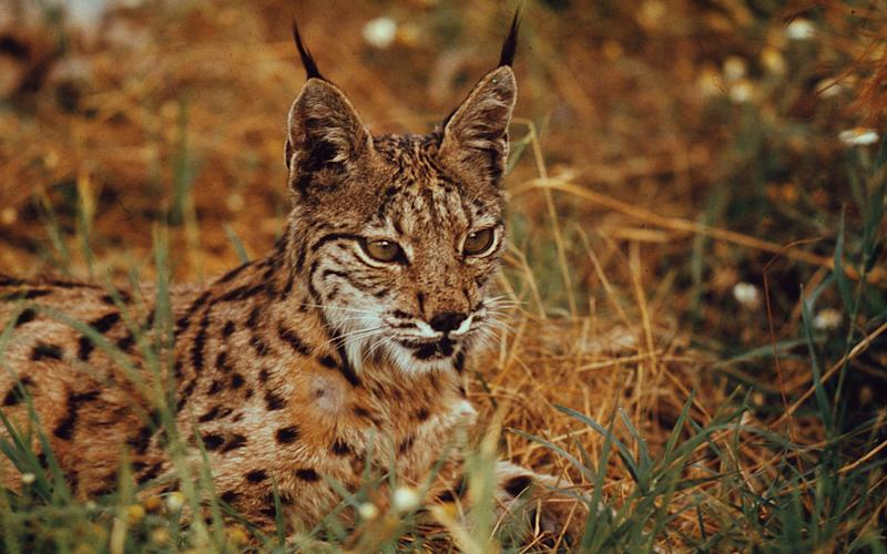 A Spanish or Iberian lynx in the Donana National Park in Andalucia, Spain - Credit: Fritz Vollmar/WWF/PA