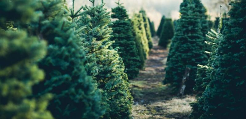Tress lined up at a Christmas Tree farm.