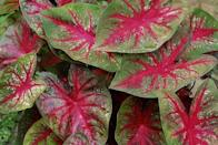 """<p>Caladiums are grown for their cheerful pink and green heart-shaped leaves. They look equally striking in the landscape or in containers. Bonus: This tropical plant can be brought indoors in the fall to enjoy as a houseplant. Needs mostly shade.</p><p>Varieties to try: Miss Muffet, Heart to Heart Tickle Me Pink</p><p><a class=""""link rapid-noclick-resp"""" href=""""https://go.redirectingat.com?id=74968X1596630&url=https%3A%2F%2Fwww.etsy.com%2Flisting%2F953526200%2Fcaladium-miss-muffet-tuberbulb-jumbo%3Fgpla%3D1%26gao%3D1%26gclid%3DCjwKCAjw9MuCBhBUEiwAbDZ-7qNUU72TW9boNKLHGcFOelVXYbjTOhjGiioSA0w5nzDC4m7kgjWU6xoCHjQQAvD_BwE&sref=https%3A%2F%2Fwww.housebeautiful.com%2Fentertaining%2Fflower-arrangements%2Fg2411%2Fpopular-flowers-summer%2F"""" rel=""""nofollow noopener"""" target=""""_blank"""" data-ylk=""""slk:SHOP NOW"""">SHOP NOW</a></p>"""