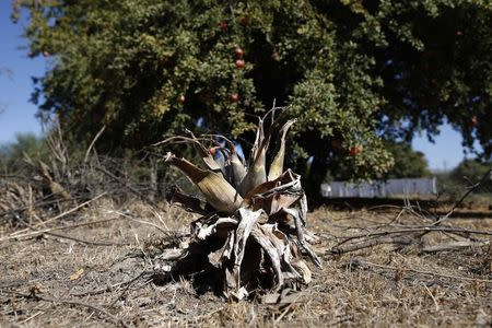 A parched yucca is seen in a garden in Porterville, California October 14, 2014. REUTERS/Lucy Nicholson