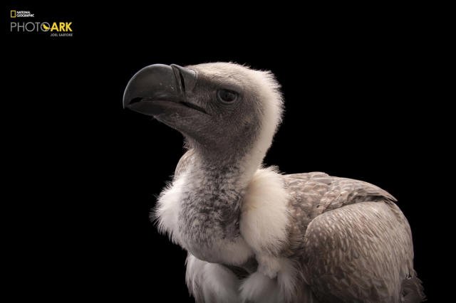 <p><strong>Critically endangered, fewer than 270,000 left in the wild.</strong> <br> Photographed at the Cleveland Metroparks Zoo in Cleveland,<br> Ohio. (© Photo by Joel Sartore/National Geographic Photo Ark)<br><br><em> Support the Photo Ark and projects working to help save species</em><br><em> at PhotoArk.org and join the conversation on social media with</em><br><em> #SaveTogether.</em> </p>
