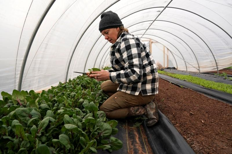 Chlebanowski harvests spinach on her farm in Alex