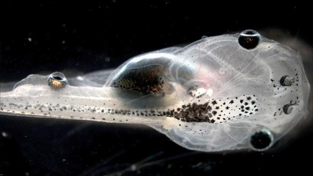 Tadpoles 'See' Through Eyes Implanted in Their Tails