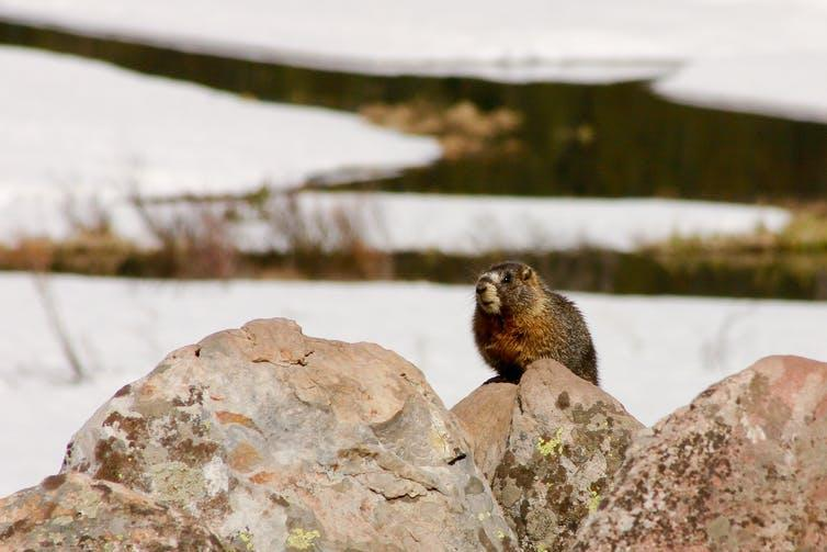 A small furry mammal sitting on a rock in a snowy landscape.