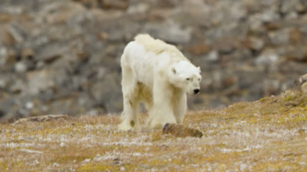 Heartbreaking footage has emerged of an emaciated polar bear in Canada's Arctic.