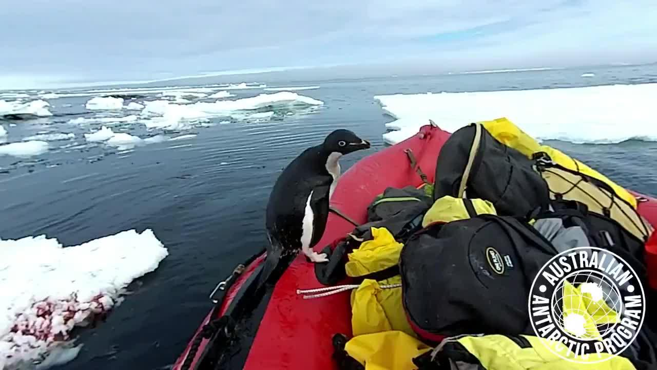 Watch as a curious penguin in Antarctica decides to quickly visit members from Australia's Antarctic Division. Credit to 'Matthew McKay / Antarctic Division - Australia'.
