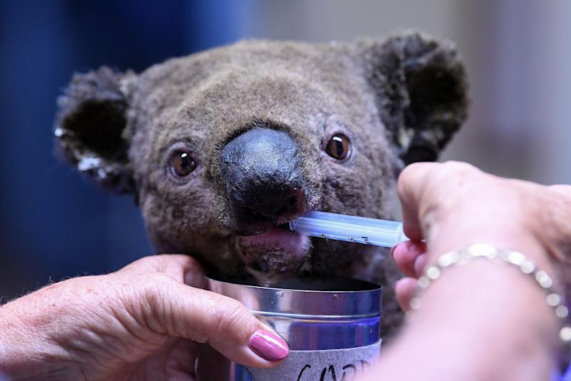 A dehydrated and injured Koala receives treatment at the Port Macquarie Koala Hospital in Port Macquarie on November 2, 2019, after its rescue from a bushfire that has ravaged an area of nearly 5,000 acres.