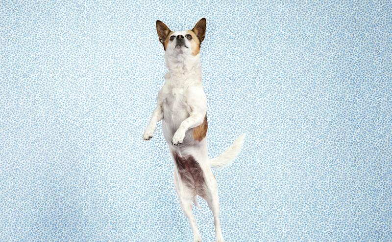 A dog jumping while wagging its tail.