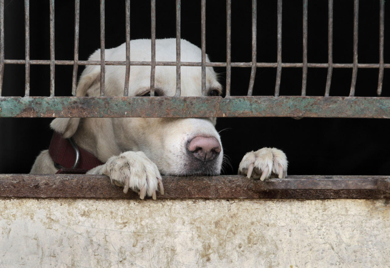 A stray dog looks out from his cage after being picked up for sterilization from a locality in New Delhi, India, Friday, Sept. 23, 2011. The municipal officials have started rounding up stray dogs for sterilizing them in order to stop their growing population. (AP Photo/Manish Swarup)