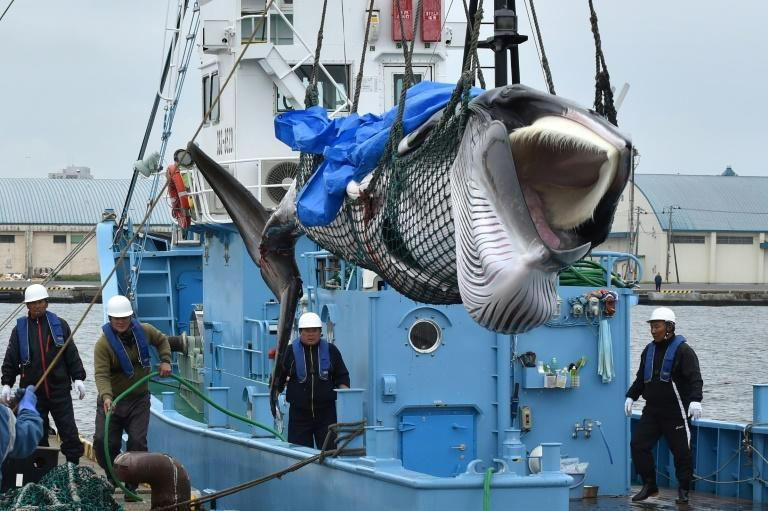 Japan resumed commercial whaling in its territorial waters for the first time in decades last month brushing aside conservationist outrage (AFP Photo/Kazuhiro NOGI)