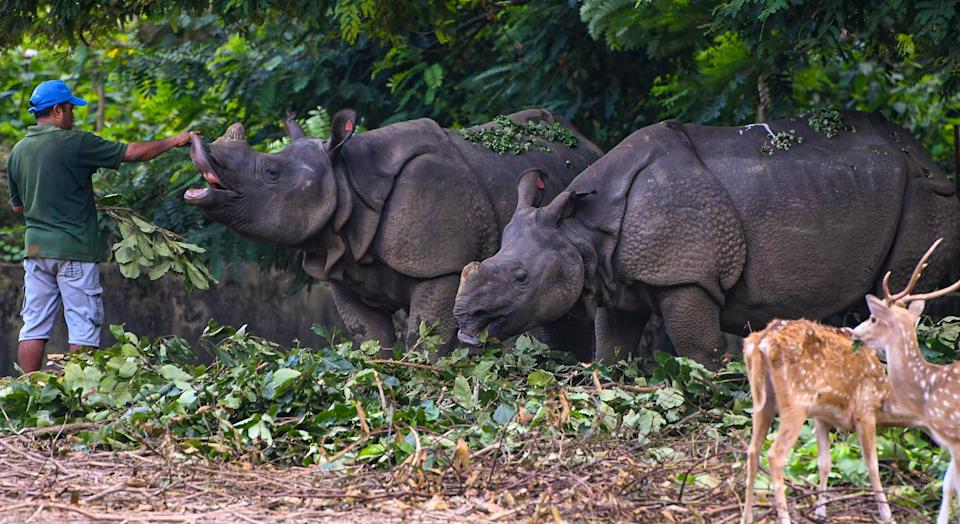 """<div class=""""paragraphs""""><p>A zookeeper Govinda feeds a pair of one horn rhino inside the enclosure at Assam State Zoo in Guwahati, Wednesday, 15 September.</p></div>"""