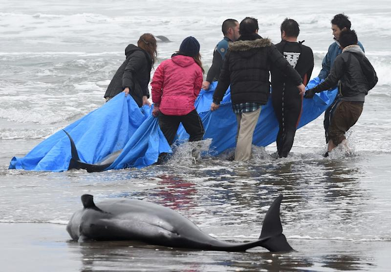 Residents attempt to save melon-headed whales beached on the shore of Hokota city, northeast of Tokyo on April 10, 2015