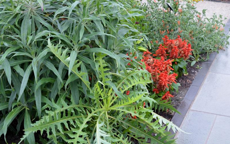 Sonchus arborescens below Echium fastuosum and Trachycarpus wagnerianus in the Exotic Garden at the RHS Garden Wisley, Surrey, UK - Carole Drake / GAP Photos