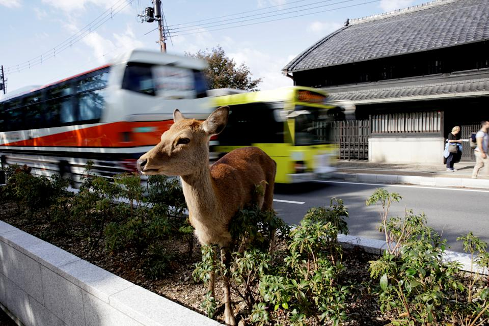 A deer stands on a grass road divider in Nara, Japan October 25, 2017.   REUTERS/Thomas White