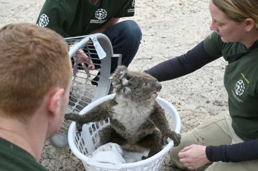 Rescued koalas are being taken to a makeshift sanctuary at Kangaroo Island's Wildlife Park in Australia after bushfires swept through the area