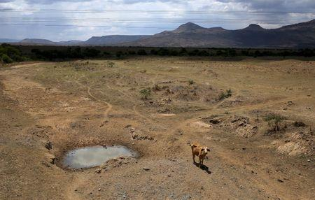 A cow is seen near a dry river outside Utrecht, a small town in the northwest of KwaZulu-Natal