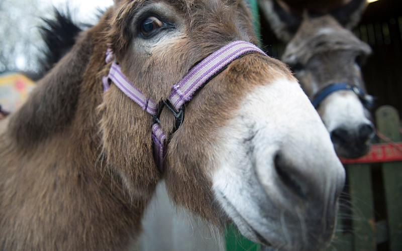 Clover, the Hackney City Farm donkey, and in the background her more courageous companion Larry - .