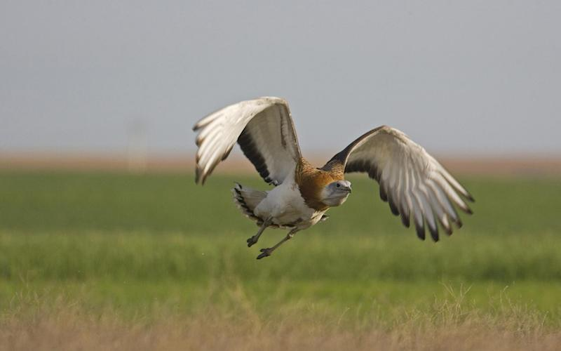 The birds can have a wingspan of more than 8ft - Credit: PA
