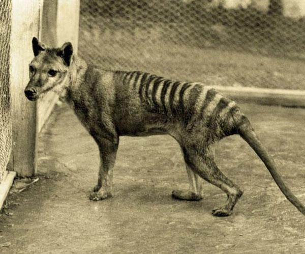 The last known thylacine died in captivity in 1936, but there have been thousands of unconfirmed sightings since then