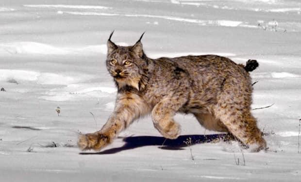 A female Canadian lynx heading for the woods after being released near South Fork, Colo. Cases of lynx attacking pets appear to be on the rise in the North this year.