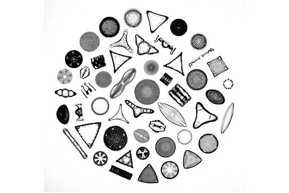 Photomicrograph depicting the siliceous frustules of fifty species of diatoms arranged within a circular shape. Diatoms form the base of many marine and aquatic food chains, and upon death, their glassy frustules form sediments known as diatoma