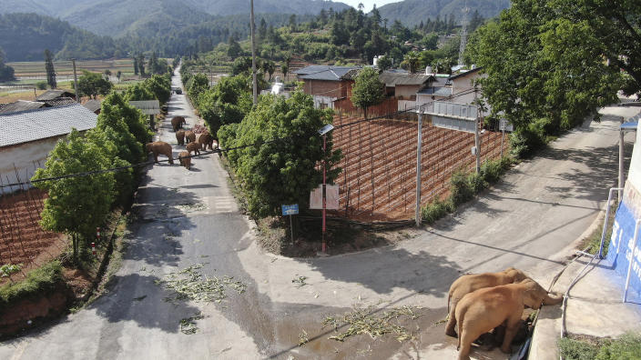 Image: A migrating herd of elephants roam through a neighborhood near the Shuanghe Township, Jinning District of Kunming city in southwestern China's Yunnan Province, (Yunnan Forest Fire Brigade / AP)