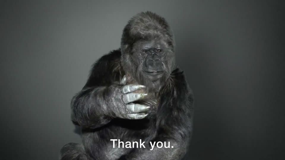 Koko signs off from the video, thanking her many supporters. Photo: The Gorilla Foundation